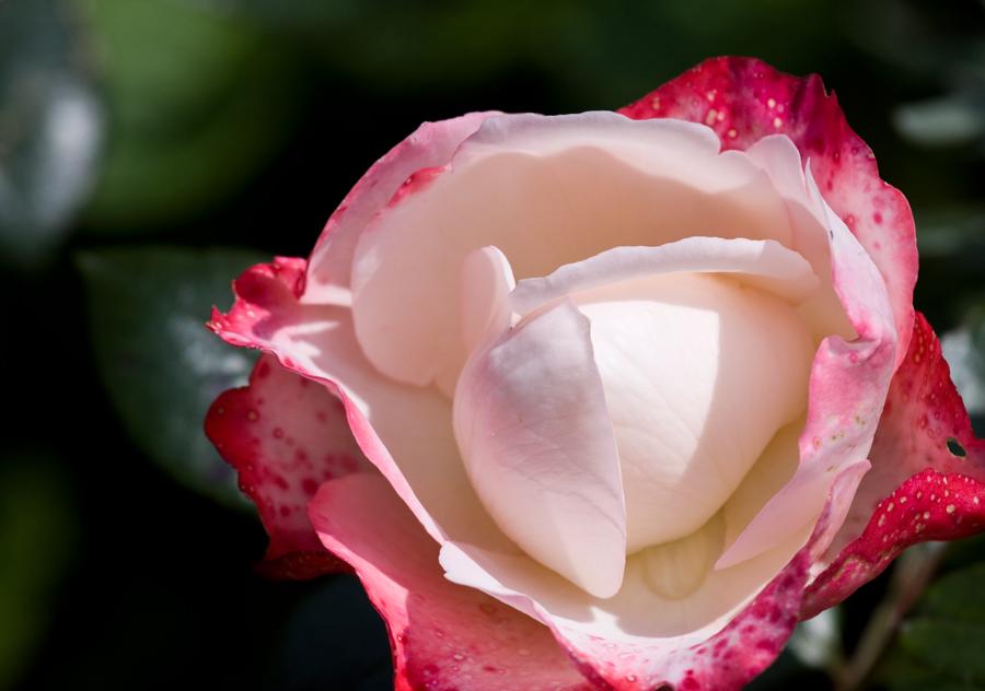 private homepage von bruno lux rosen im garten. Black Bedroom Furniture Sets. Home Design Ideas